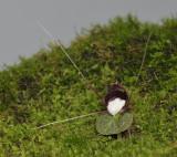 Corybas geminigibbus.