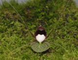 Corybas geminigibbus. Front.