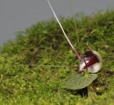 Corybas geminigibbus. Side.