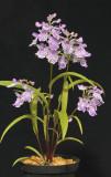 Ponerorchis graminifolia.