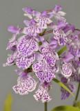 Ponerorchis graminifolia. 35