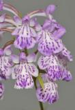 Ponerorchis graminifolia. 36