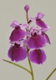Ponerorchis graminifolia. 37