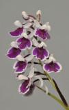 Ponerorchis graminifolia. 38