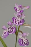 Ponerorchis graminifolia. 39