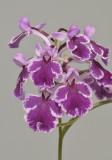 Ponerorchis graminifolia. 40