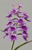 Ponerorchis graminifolia. 21