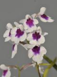 Ponerorchis graminifolia. 41