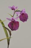 Ponerorchis graminifolia. 42
