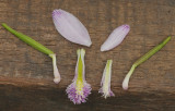 Pogonia ophioglossoides and P. japonica side by side.