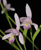 Pogonia ophioglossoides. Close-up.