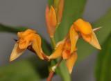 Coelogyne miniata. Close-up.