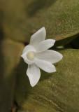 Angraecum aporoides. Close-up.