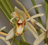 Coelogyne trinervis. Close-up.