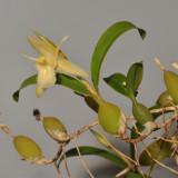 Coelogyne fimbriata. Yellow form (Coelogyne primulina).