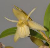 Coelogyne fimbriata. Yellow form (Coelogyne primulina). Close-up.