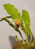 Coelogyne tiomanensis.