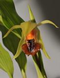Coelogyne tiomanensis. Close-up.