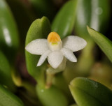 Dendrobium funiforme. Close-up.