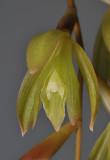 Coelogyne exalata. Close-up.