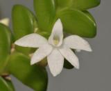 Angraecum distichum. Close-up.