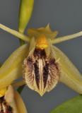 Coelogyne fimbriata aff. Close-up.