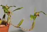 Coelogyne fimbriata (syn. C. fuliginosa).