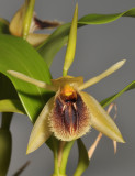 Coelogyne fimbriata (syn. C. fuliginosa). Close-up front.