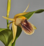Coelogyne fimbriata (syn. C. fuliginosa). Close-up.