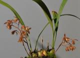 Coelogyne plicatissima.