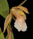Coelogyne speciosa subsp. incarnata. f. alba. Close-up.