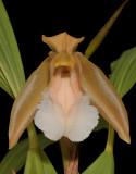 Coelogyne speciosa subsp. incarnata. f. alba. Close-up front.