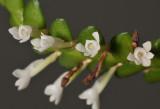 Angraecum bancoense. Close-up.
