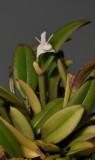 Dendrobium albiflorum