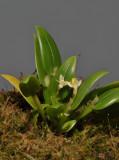 Dendrobium rumphiae.