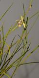Bromheadia ensifolia.