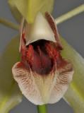 Coelogyne celebensis. Close-up.
