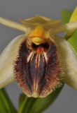 Coelogyne fuliginosa. Close-up.