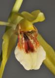 Coelogyne guamensis? sp. aff. carinata. Close-up.