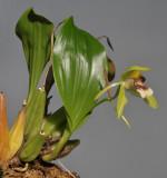 Coelogyne carinata (C. sarasinorum).