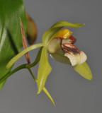 Coelogyne carinata (C. sarasinorum). Closer.