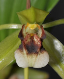 Coelogyne carinata (C. sarasinorum). Close-up.