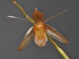 Coelogyne tenompokensis. Front.