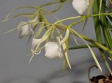 Brassavola nodosa. Close-up side.