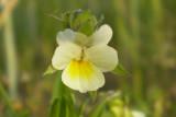 Viola arvensis.