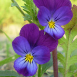 Viola tricolor Blue.