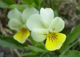 Viola tricolor Yellow or  V. x contempta?