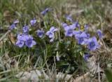 Viola canina big clump.