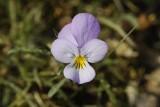 Viola curtisii. Close-up.