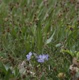 Viola canina. Between rushes.